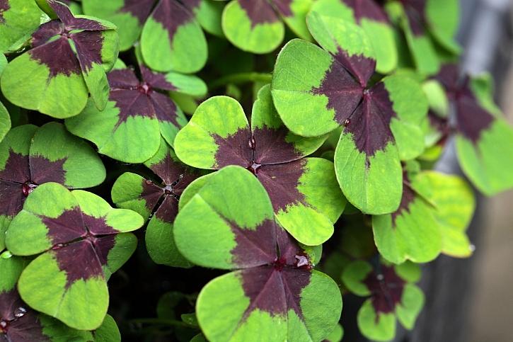 Rostlina štěstí se odedávna daruje blízkým (Zdroj: Depositphotos)