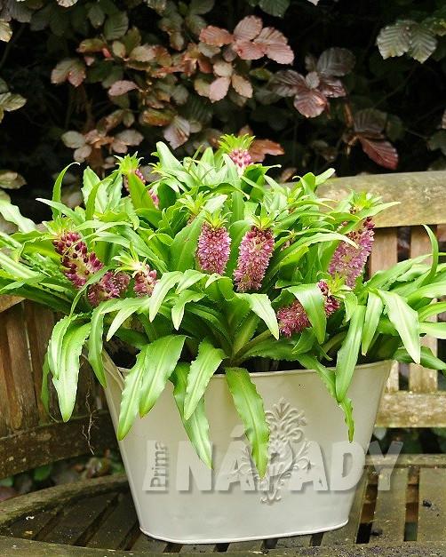 Eucomis, kultivar Pineapple plant