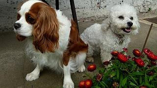 První pes: 7 nejlepších psích plemen pro chovatele začátečníky