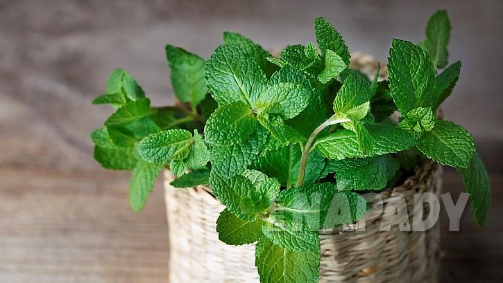 Domácí pěstování bylin a koření: agresivnější mátu je vhodné sázet do nádob samostatně