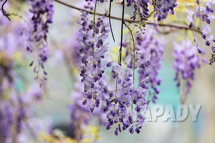 Vistárie nás ohromují fialovou záplavou květů