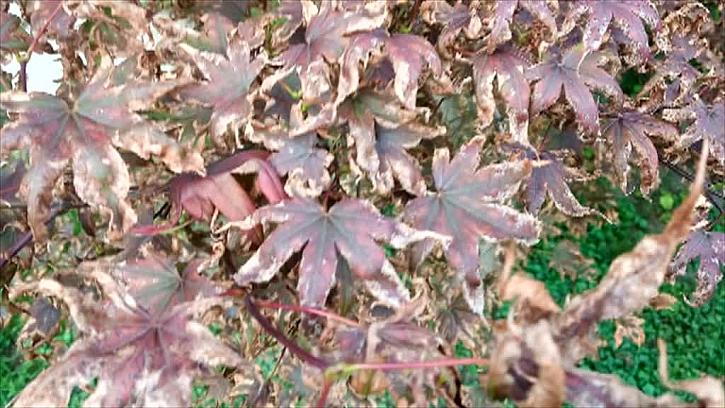 Vysychající červený javor
