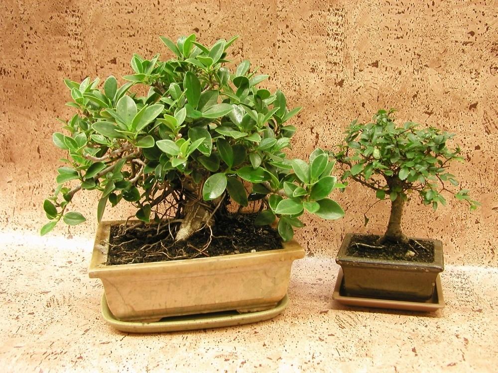 Jak pečovat o bonsaje