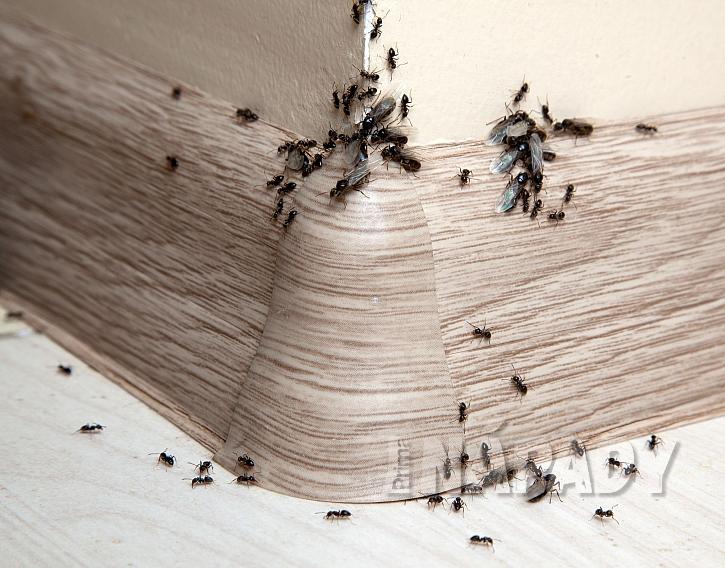 Mravenci v bytě mohou nadělat velkou paseku (Zdroj: Depositphotos.com)