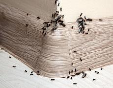 Co dělat, když mravenci obtěžují