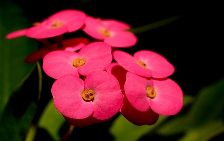 Euphorbia, Trnová koruna