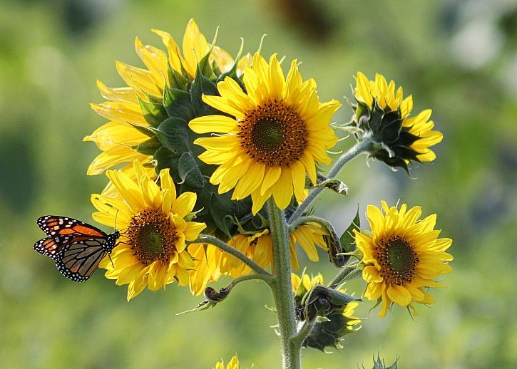 Některé slunečnice se bohatě větví