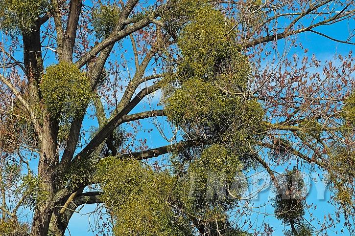 Jmelím obalené větve stromů