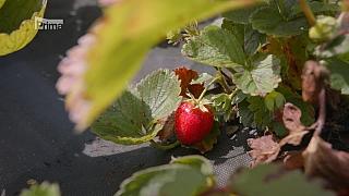 Výsadba jahod na poslední chvíli