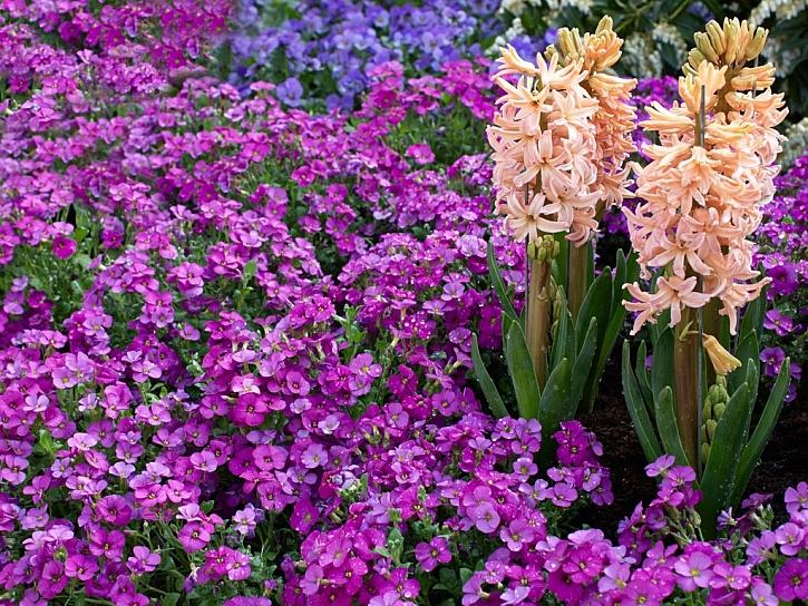 Jaro na zahradě přivítají omamně voňavé květy hyacintů