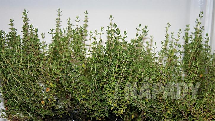Bylinková zahrádka: tymiánobecný(Thymus vulgaris)