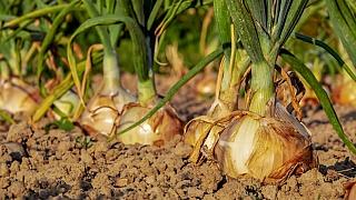 Cibuli si můžete vypěstovat buď ze sazečky, nebo ze semen