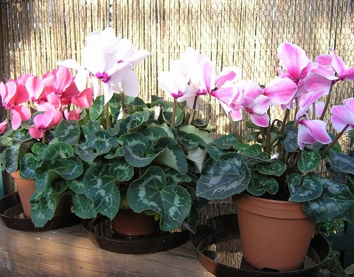 Škůdci pokojových rostlin