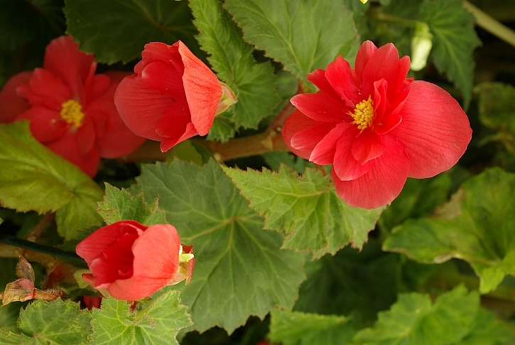 Begonia tbh.samičí květ