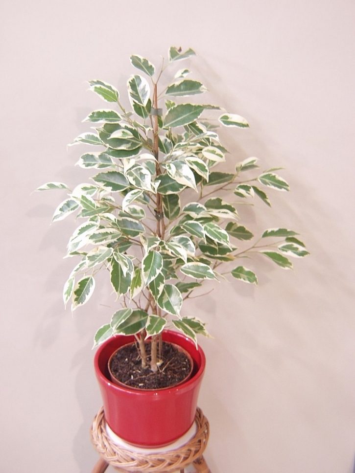 Jak pěstovat oblíbené pokojové rostliny