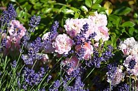 Levandule, šalvěj, kakost, kontryhel a klematis: 5 květinových společnic pro královny růže