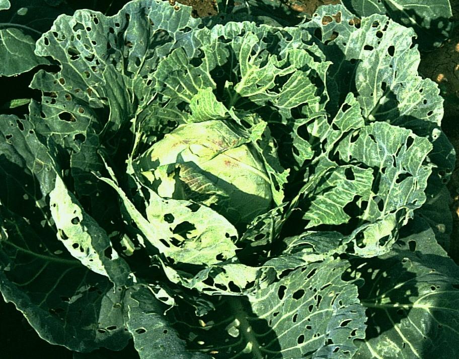 Choroby a škůdci brukvovité zeleniny