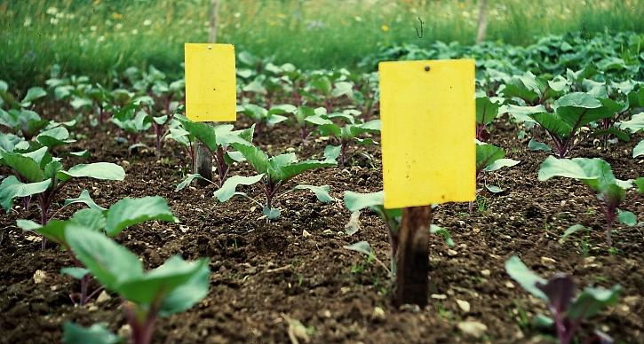 Žluté lepové desky v záhonu