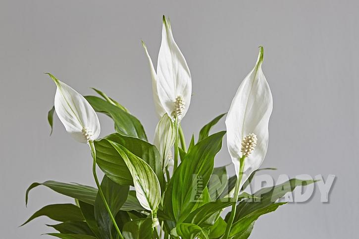 Květiny do koupelny: Lopatkovec (Spathiphyllum)