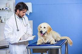 Kdy vyhledat veterináře u psa a kdy to zvládneme bez něj?