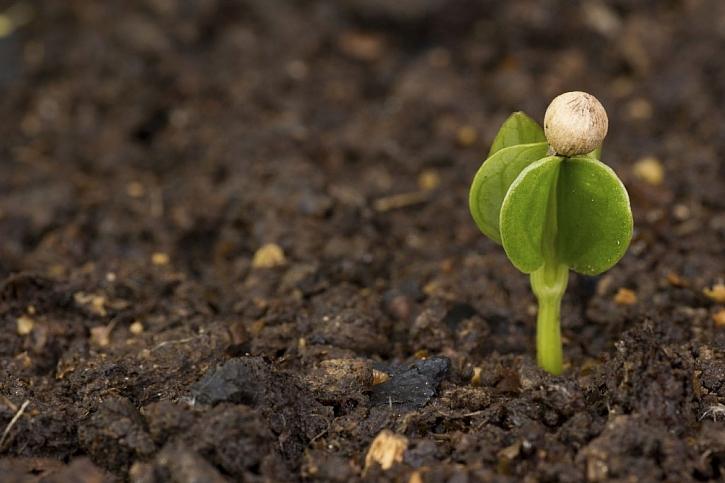 Pepř se dá úspěšně pěstovat jako pokojová rostlina