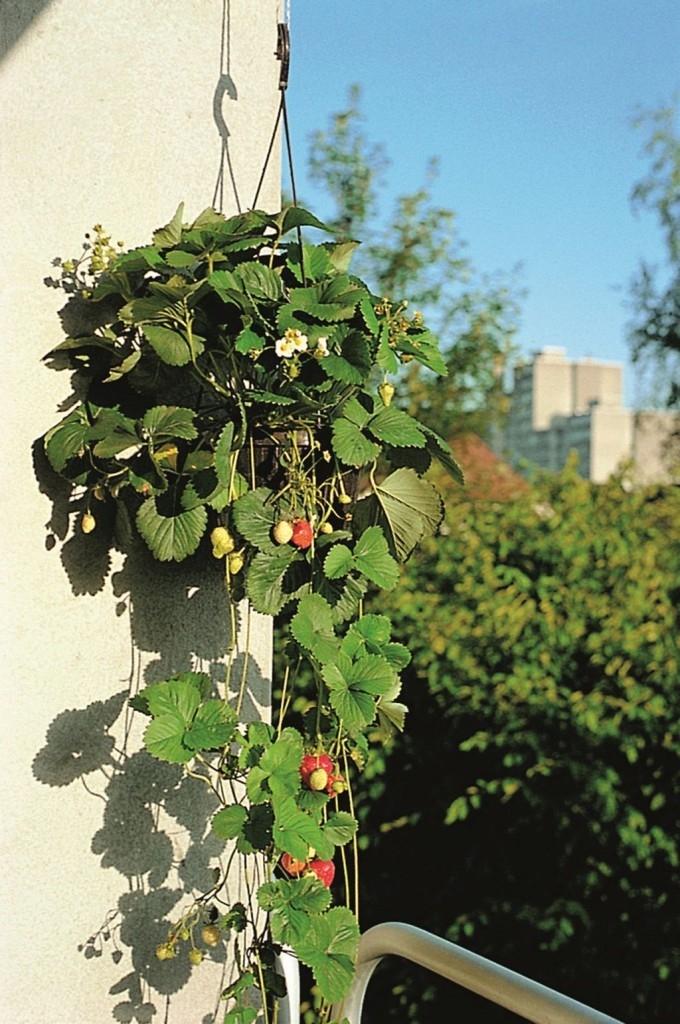 Seznam bylinek, zeleniny a ovoce, které se hodí na balkonovou zahrádku