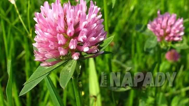 Nejznámější byliny pro detoxikaci: jetel luční (Trifolium pratense)