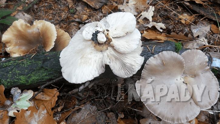Hlíva ústřičná (Pleurotus ostreatus) posiluje imunitu, zvyšuje odolnost proti infekcím