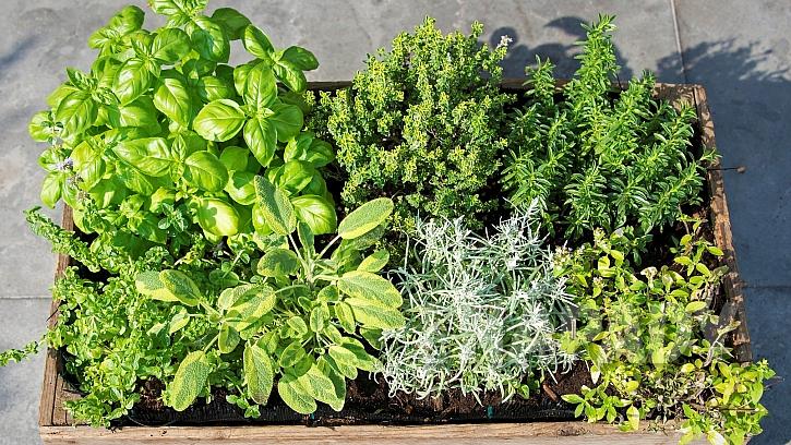 Domácí pěstování bylin a koření: druhy bylin ve skupině musí mít stejné či hodně podobné nároky na pěstování