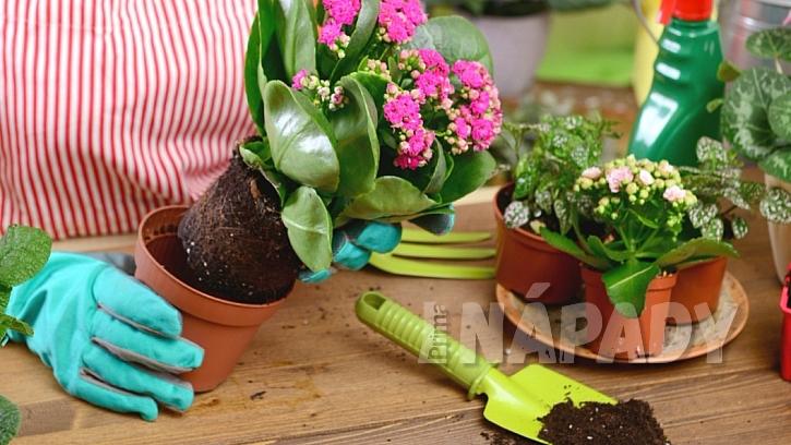 Pokojové rostliny potřebují na jaře přesadit: zásadně nepoužíváme staré plastové květináče