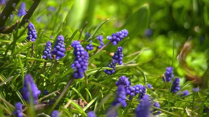 Modré květy a tráva