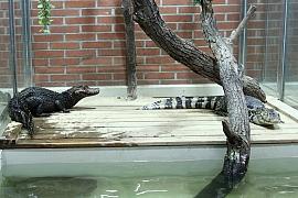 Krokodýli: Chov nebezpečných zvířat
