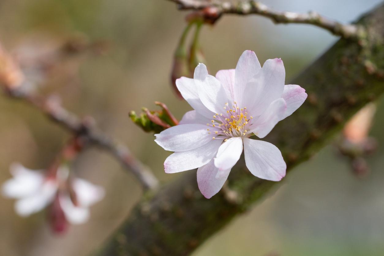 Slivoň chloupkatá: Kouzelný stromek, který dokáže kvést po celou zimu