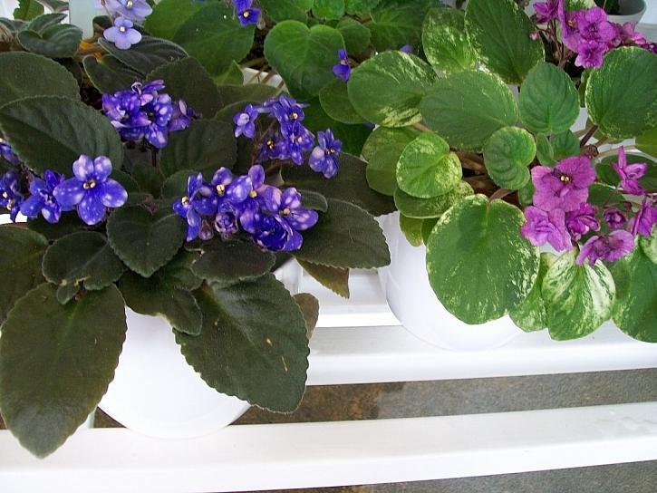 Pěstování a množení fialky africké (Saintpaulia)