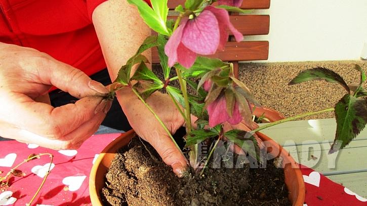 Jarní minizahrádka: květináč naplňte zeminou a zasaďte čemeřici