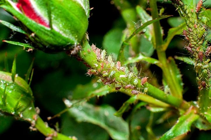 Mšice patří mezi nejzávažnější škůdce rostlin, jak na jejich likvidaci? (Zdroj: Depositphotos)