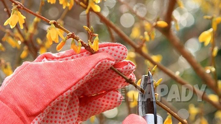 Zlatice kvete na loňských výhonech, a proto ji hned po odkvětu  prořežeme
