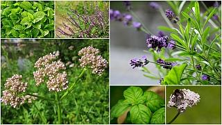 Voňavé bylinky, které komárům nevoní: meduňka, kozlík, bazalka, levandule a šalvěj