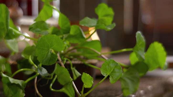 Listy Gotu Koja