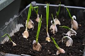 Zkuste si vypěstovat česnek doma na balkoně nebo v truhlíku za oknem