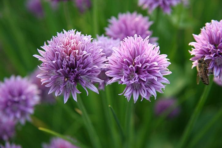 Pažitka pobřežní (Allium schoenoprasum): nejen nať, ale květy se uplatní v kuchyni