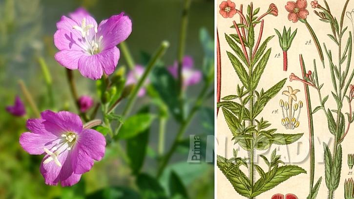 Vrbovka malokvětá (Epilobium parviflorum)