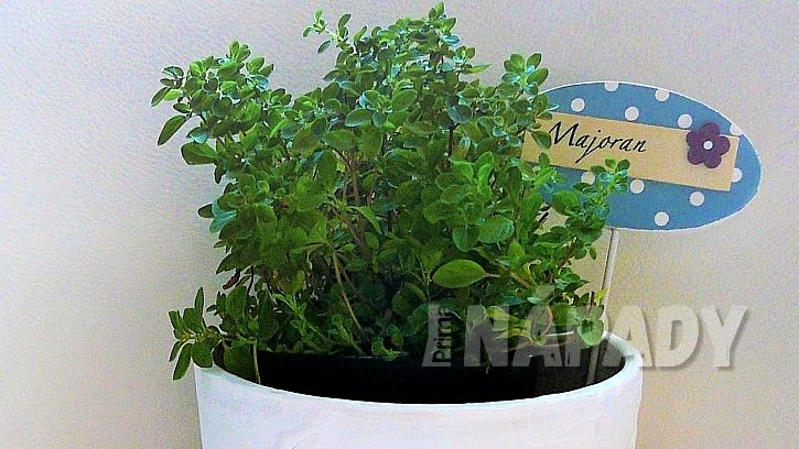 Majoránka zahradní (Origanum majorana)