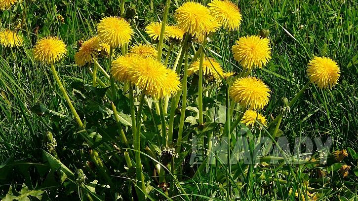 Nejznámější byliny pro detoxikaci: pampeliška lékařská (Taraxacum officinale)