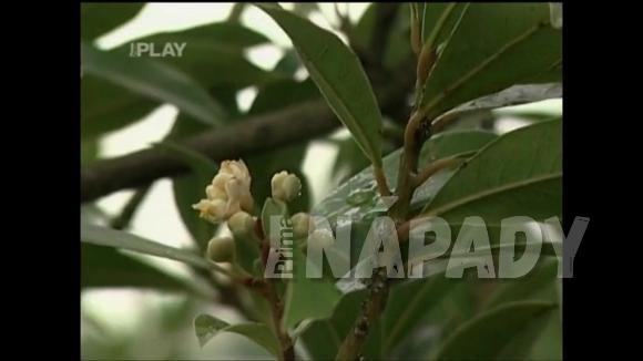 Bobkový list - použití, pěstování a léčivé účinky