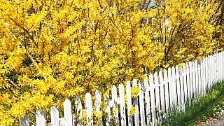 Víte, kdy už fakt začíná jaro? Když rozkvete zlatice!