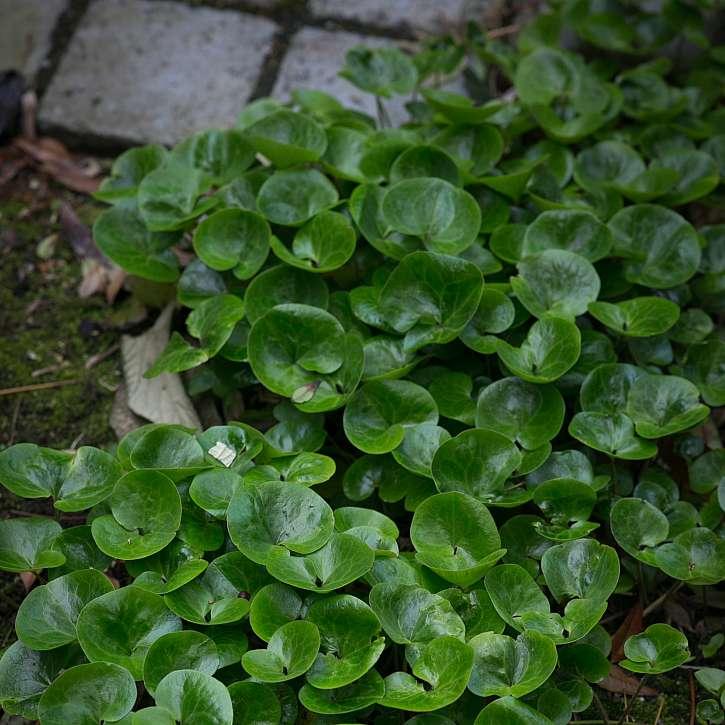 Škornice s lesklými zelenými listy