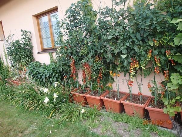 Nebojte se vypěstovat si vlastní rajče třeba na balkóně