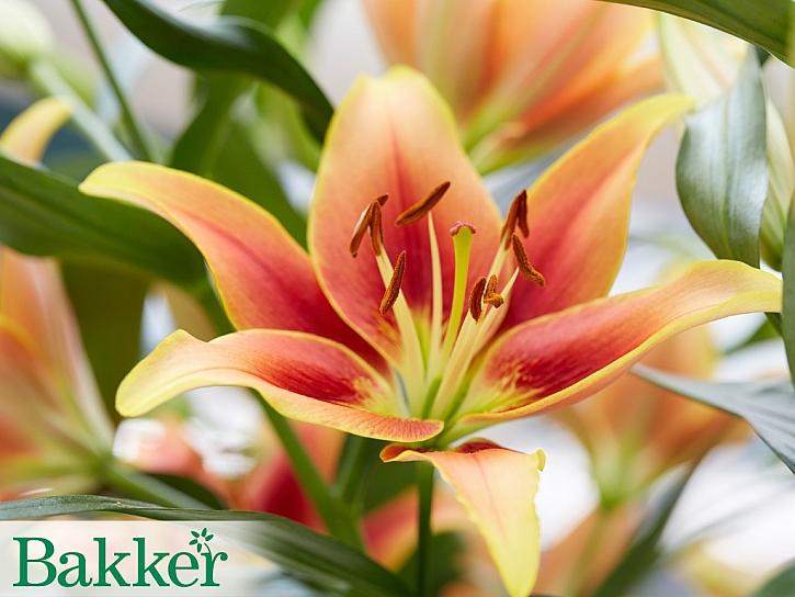 Mnoho krásných druhů lilií můžete objednat v e-shopu BAKKER