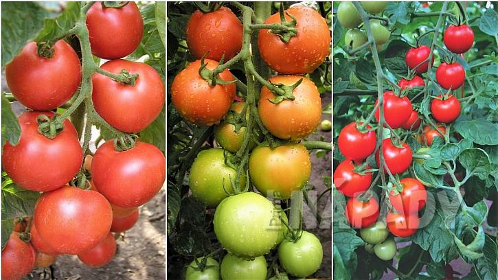Osvědčené odrůdy rajčat TORNÁDO F1, TIPO F1 a BEJBINO F1